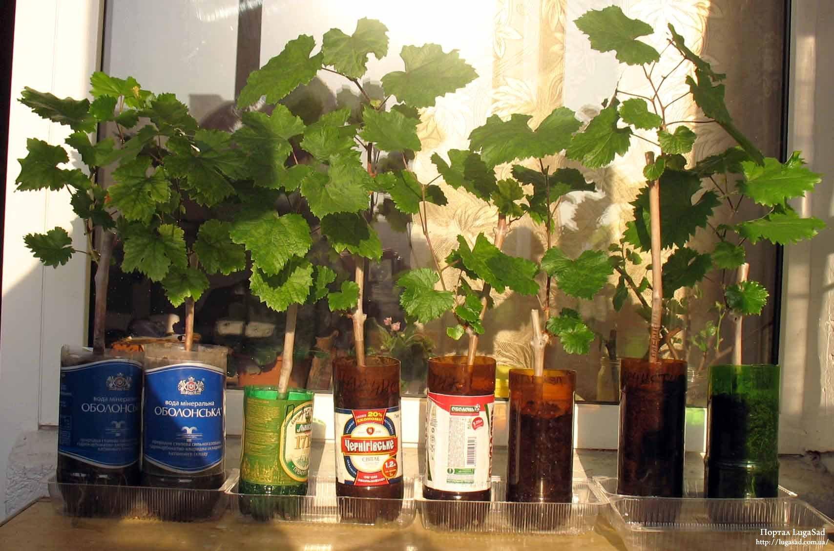 Выращивание винограда в домашних условиях 715