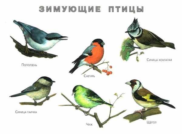 kakie-pticy-zimuyut-v-krasnoyarskom-krae_17.jpg