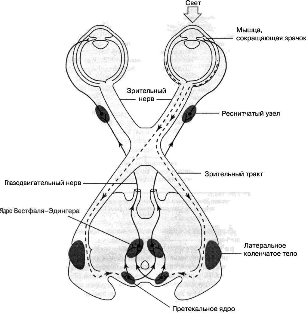 кровоснабжение мозжечка схема
