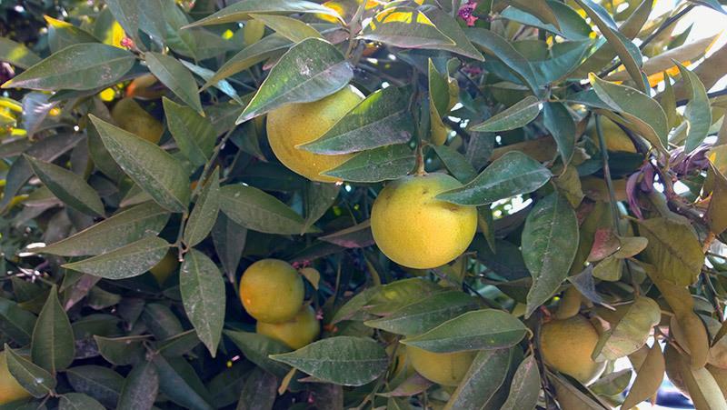 Грязные полуспелые мандаринки
