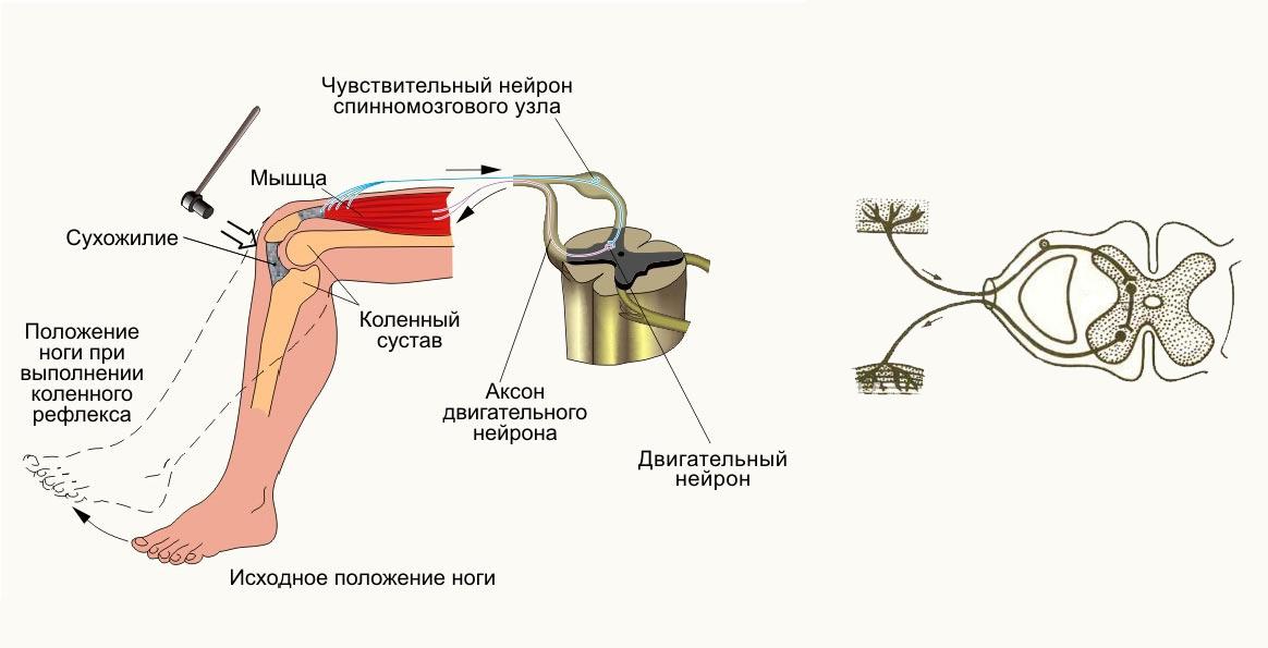 Симулятор нервной системы. Часть 1. Простой сумматор