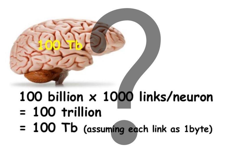 Секрет памяти мозга
