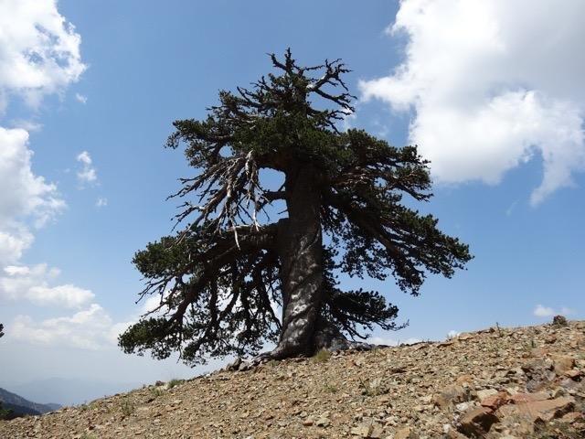 Учёные нашли старейшее дерево в Европе, которому 1075 лет
