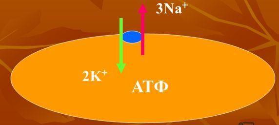 Физика в мире животных: электрический угорь и его «энергостанция»