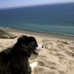 Border collie jill surveying the view from atop the sand dune on Twitpic