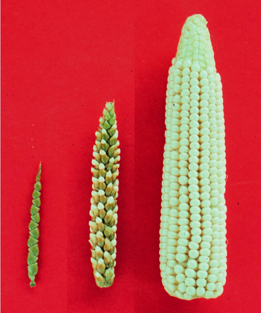 Как геномное редактирование изменит сельское хозяйство. Если мы разрешим…