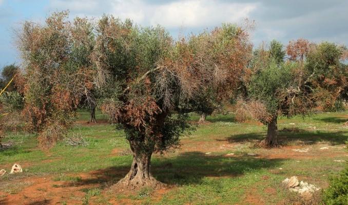 Из-за недоверия к ученым Италия может лишиться своих оливковых деревьев