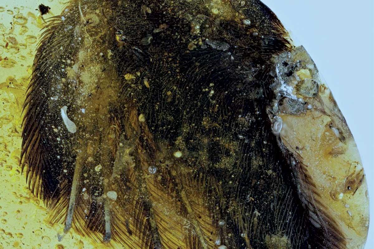В янтаре нашли превосходно сохранившиеся перья птицеподобных динозавров