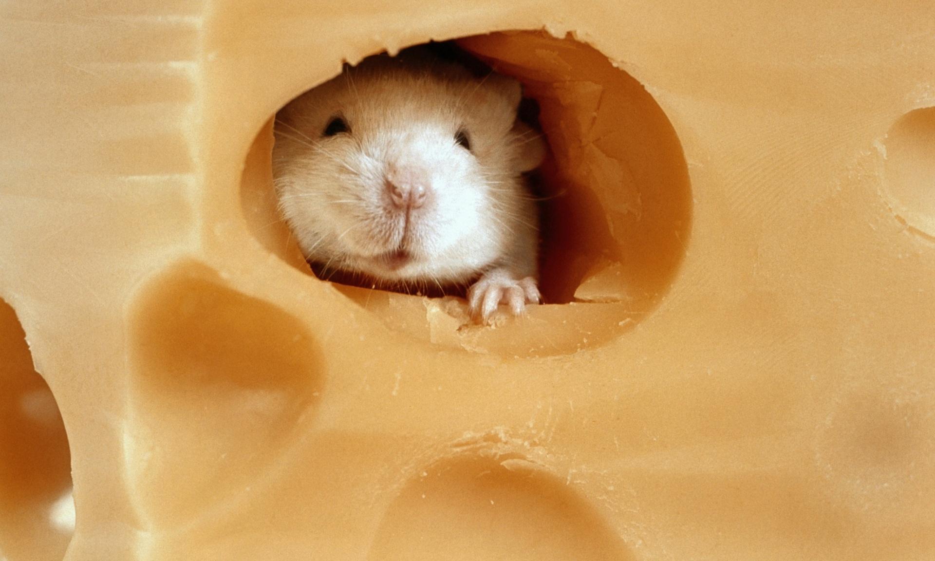 """Image result for Скажите, кто испортил сыр? Кто в нём наделал столько дыр?"""""""