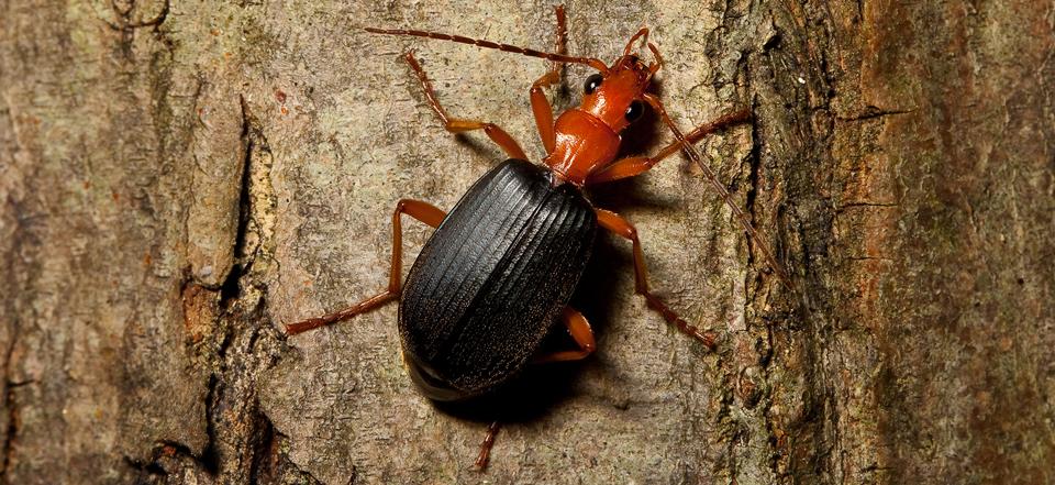 Физика в мире животных: жук-бомбардир и его «орудие»