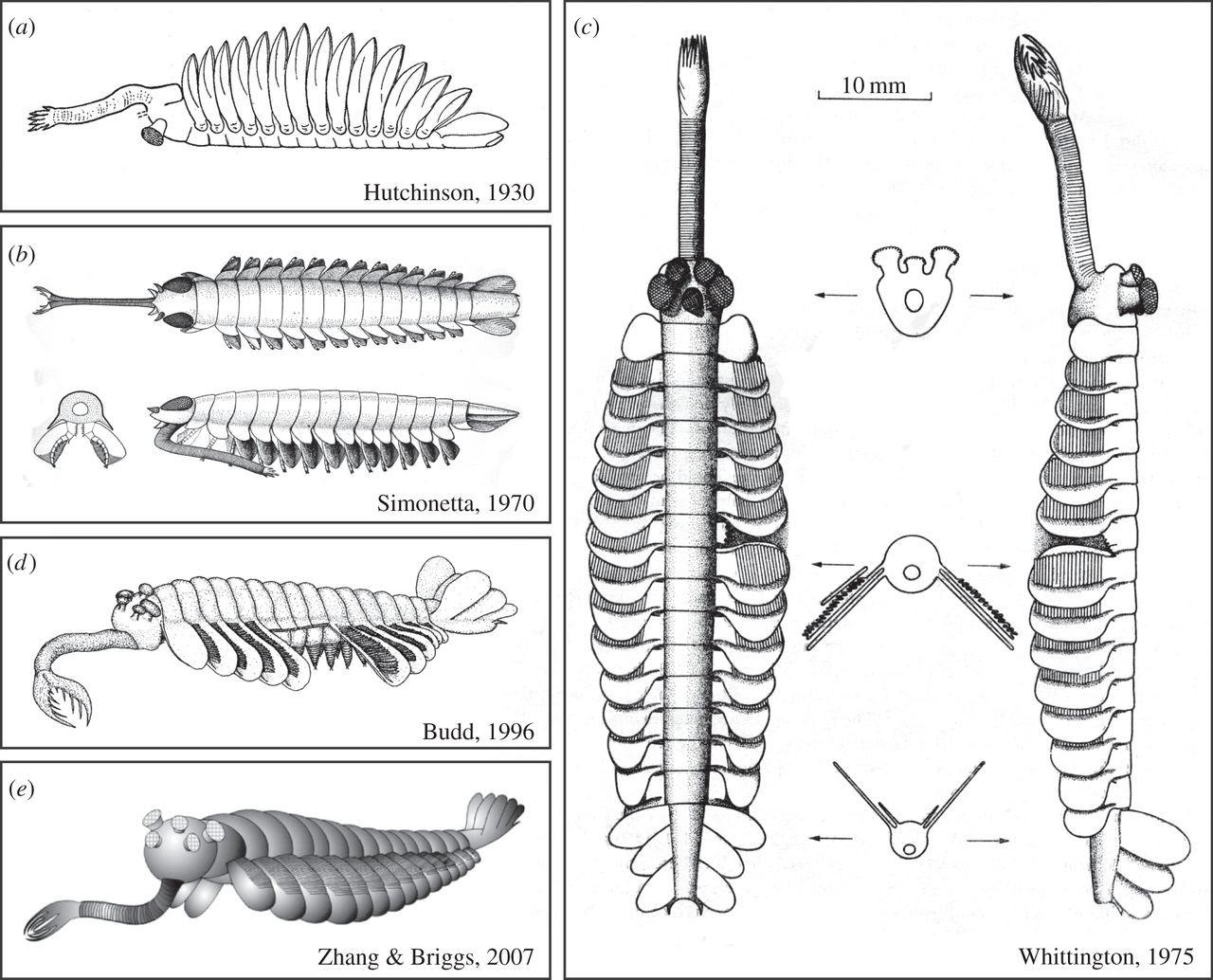 Эволюция реконструкций Opabinia regalis в работах различных авторов