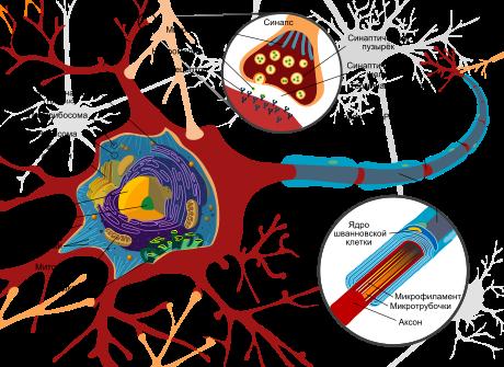 [Картинка нейрона]