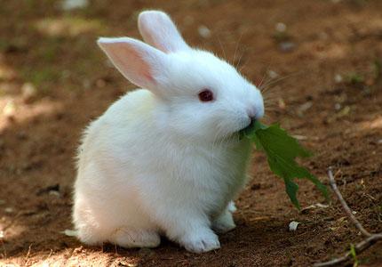 Этокролик