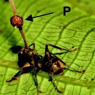 Муравей с грибом-паразитом