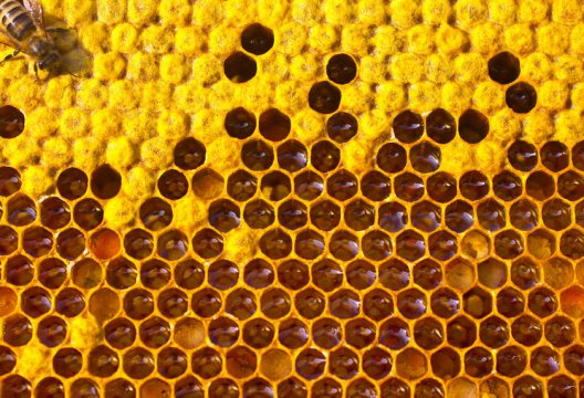 В Европе число колоний медовых пчёл упало на 12%