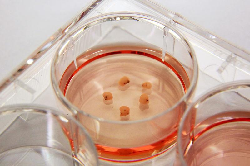 Учёные продержали мозг свиньи в живом состоянии 36часов после обезглавливания