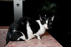 Тайский кошак у нас в доме