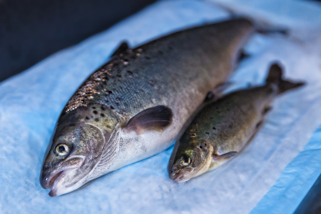 История ГМО лосося, который все же попал на рынок