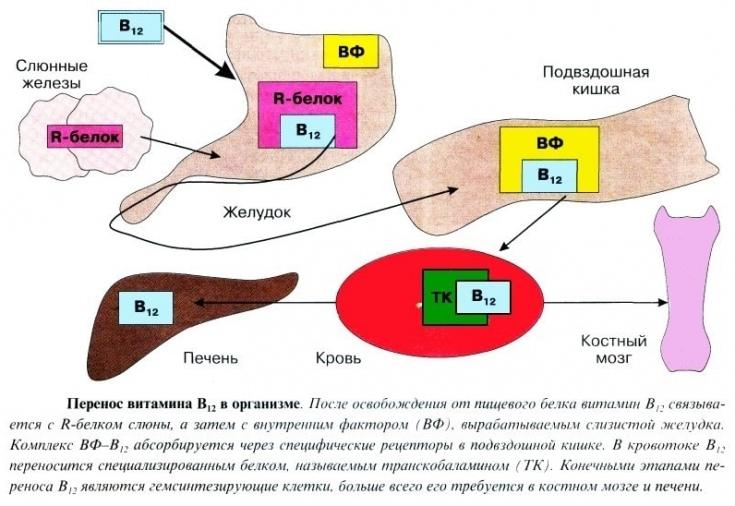изображение-схема метаболизма В12 в организме