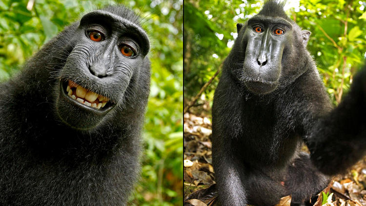 The court refused to a monkey a copyright on own selfies