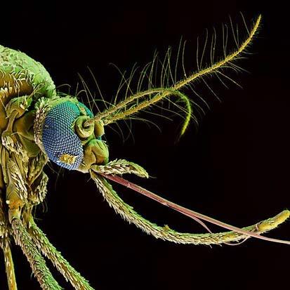 Ужасающий венерианский комар (фото Ричарда Джонса)