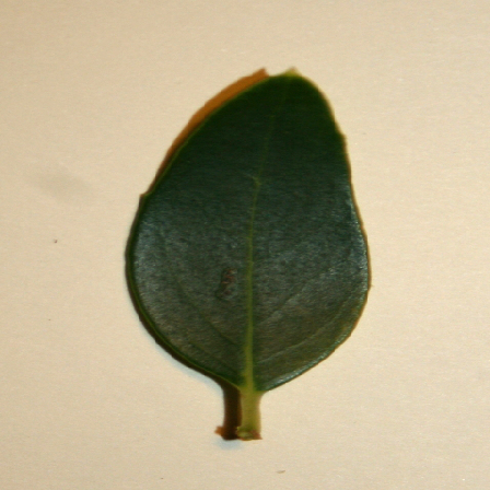 leafscan1 old