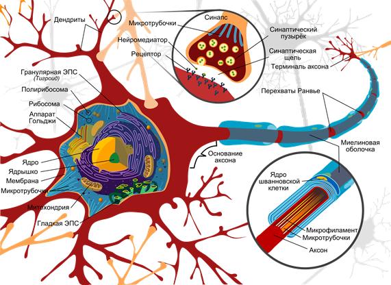 Нейроны мозга и глиальные клетки