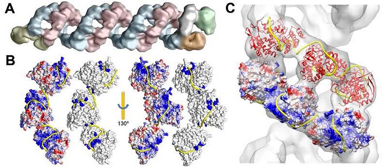 Фрактальная спиральная структура упаковки РНК