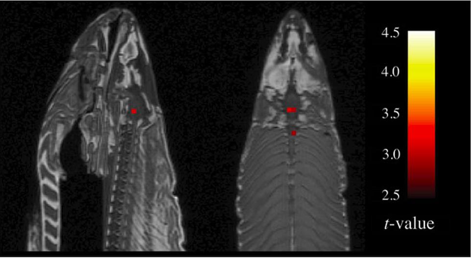 Рыба в сканере (Bennett, Miller & Wolford 2009)