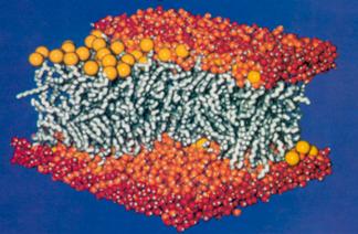 200-липидный участок мембраны плюс вода, система, смоделированная с помощью самодельного параллельного суперкомпьютера.