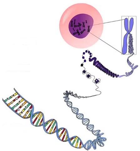 При такой укладке длина молекулы ДНК уменьшается в 100 тыс. раз