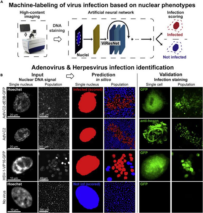 Маркировка инфицированных HSV-1 и AdV клеток