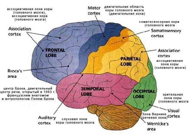 Функциональные зоны головного мозга