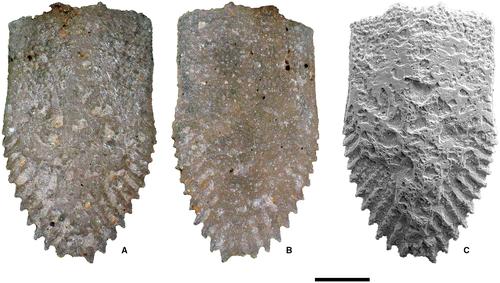Гониодонт, этакий зуб, имеется у всех видов рода Ophiocistioidea