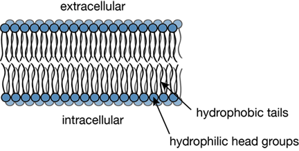 Типичное поперечное сечение липидного бислоя.