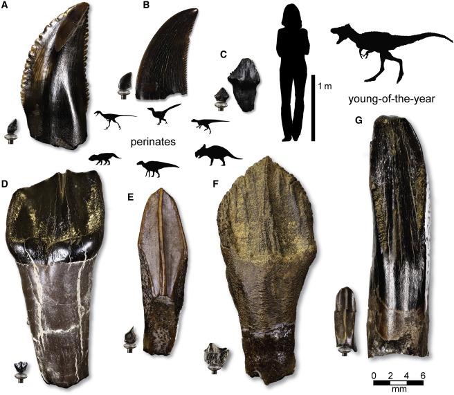 Сравнительные размеры незрелых и зрелых зубов динозавров из формации Принс Крик