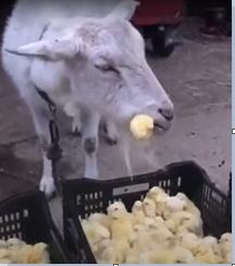 Козёл кушает цыплят  в своё довольствие.   [https://www.youtube.com/watch?v=KhQ7rUPpcJ] Видео с курицей, котом и мышью,  где мышь стала добычей курицы,  а кот в шоке  [https://www.youtube.com/watch?v=_dMDrRgAe8I]