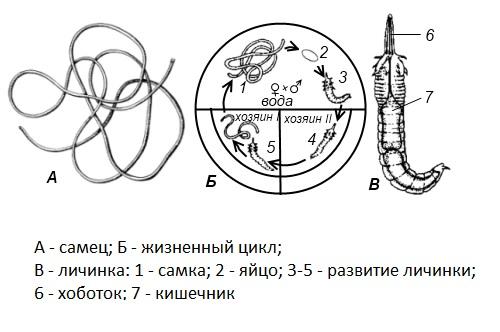 Жизненный цикл волосатика показывающий метаморфоз особи.