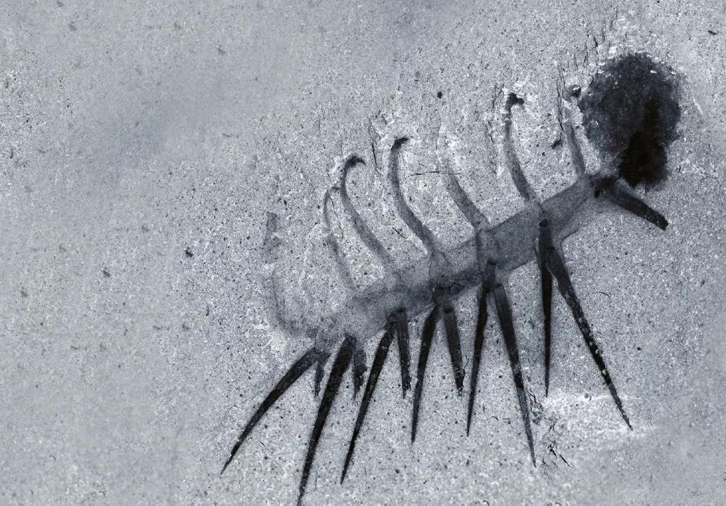 Галлюцигения в том положении,  в котором изначально её реконструировал Моррис,  где чёрное пятно — голова. Как видно на картинке,  шипы не имеют никаких видимых анатомических черт,  для того чтобы выполнять роль ног.