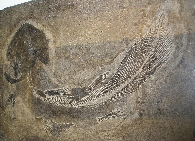 Coelacanthus granulatus— представителей вымерших целакантов