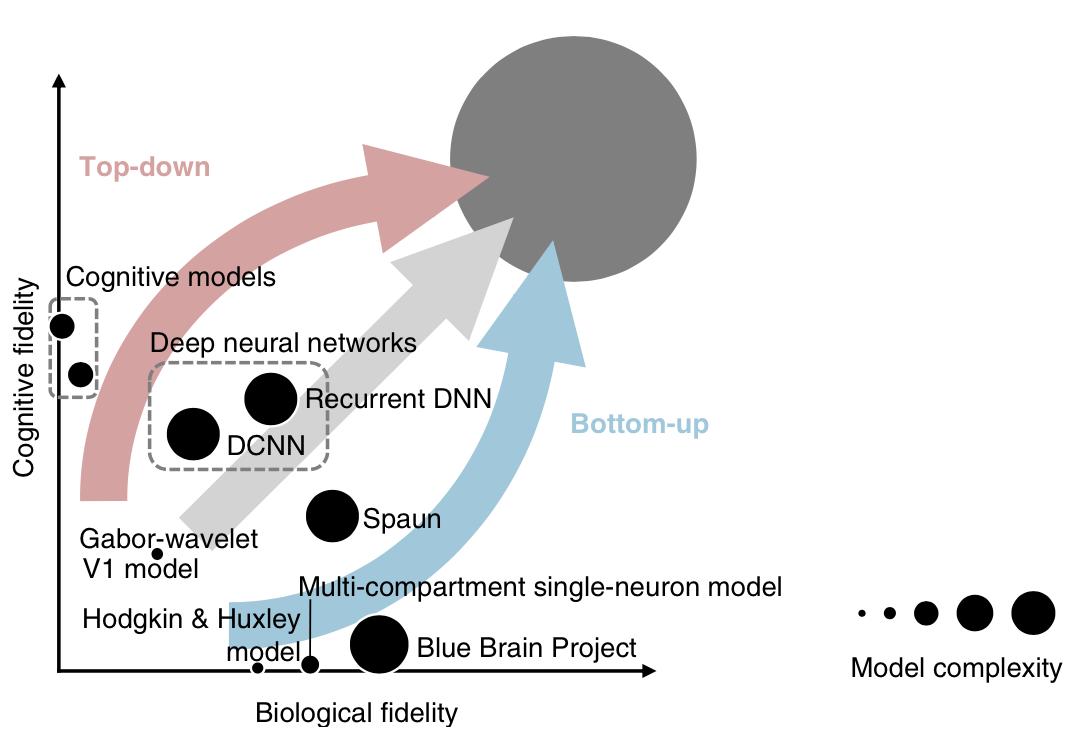 Рисунок 1. Подходы «снизу-вверх» vs «сверху-вниз». Эти два подхода являются крайностями континуума различных путей к общей цели — объяснению того, как именно наш мозг порождает наш разум. В целом, на данный момент существует отрицательная корреляция между когнитивной и биологической точностью моделей. Однако эта отрицательная корреляция может быть превращена в позитивную, когда когнитивные ограничения позволяют лучше понять биологические функции и когда биология служит вдохновением для создания моделей, объясняющих мыслительные процессы [3].