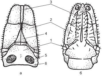 a)- хоботок со спинной стороныб) хоботок с брюшной стороны1)-основание хоботка2)-пальпы3) гипостом (часть гнатосомы)4) футляры хелицер5) поровые поля6) спинные корнуа