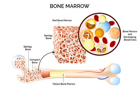 Рисунок 1. Строение костного мозга. Красный костный мозг представляет собой трубчатую костяную нишу (Spongy Bone), которая заселена гематопоэтическими клетками (Bone Marrow and Developing Blood Cells) и пронизана капиллярами и сосудами