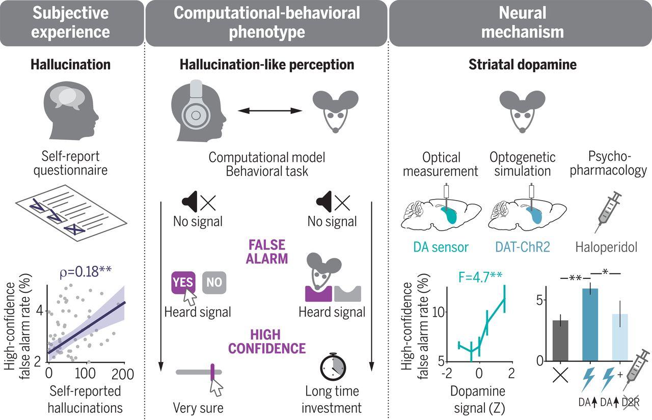 У людей и мышей вычислительно-поведенческая задача моделирует галлюцинации как ложные представления с высокой степенью достоверности. У людей подобные галлюцинационные ощущения коррелируют с галлюцинациями, о которых сообщают сами люди (опрос). У мышей восприятие, подобное галлюцинациям, опосредуется дофамином в полосатом теле мозга.