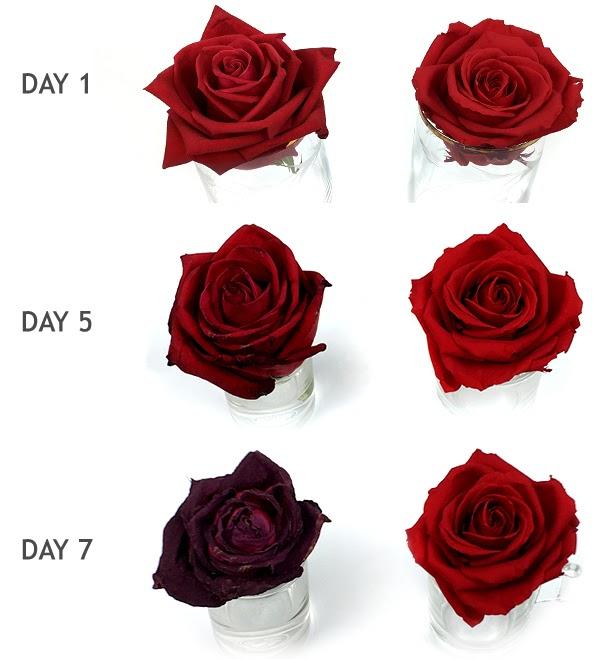 Слева — роза в обычной воде, справа — в стабилизирующем растворе