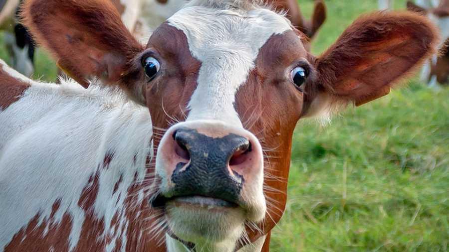 Молоко пастеризация, туберкулез и болезни ЖКТ