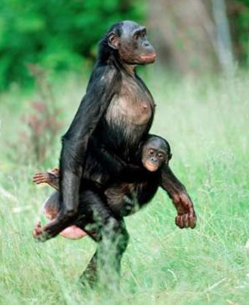 Шимпанзе идёт на двух ногах