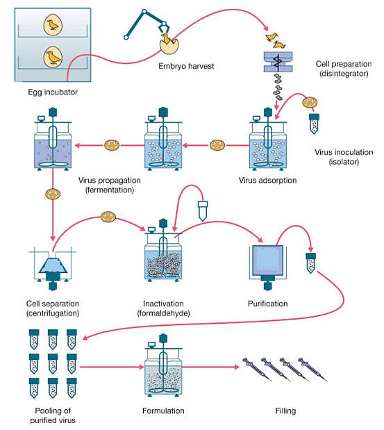 Согласно схеме, вирус инактивируют с помощью формальдегида