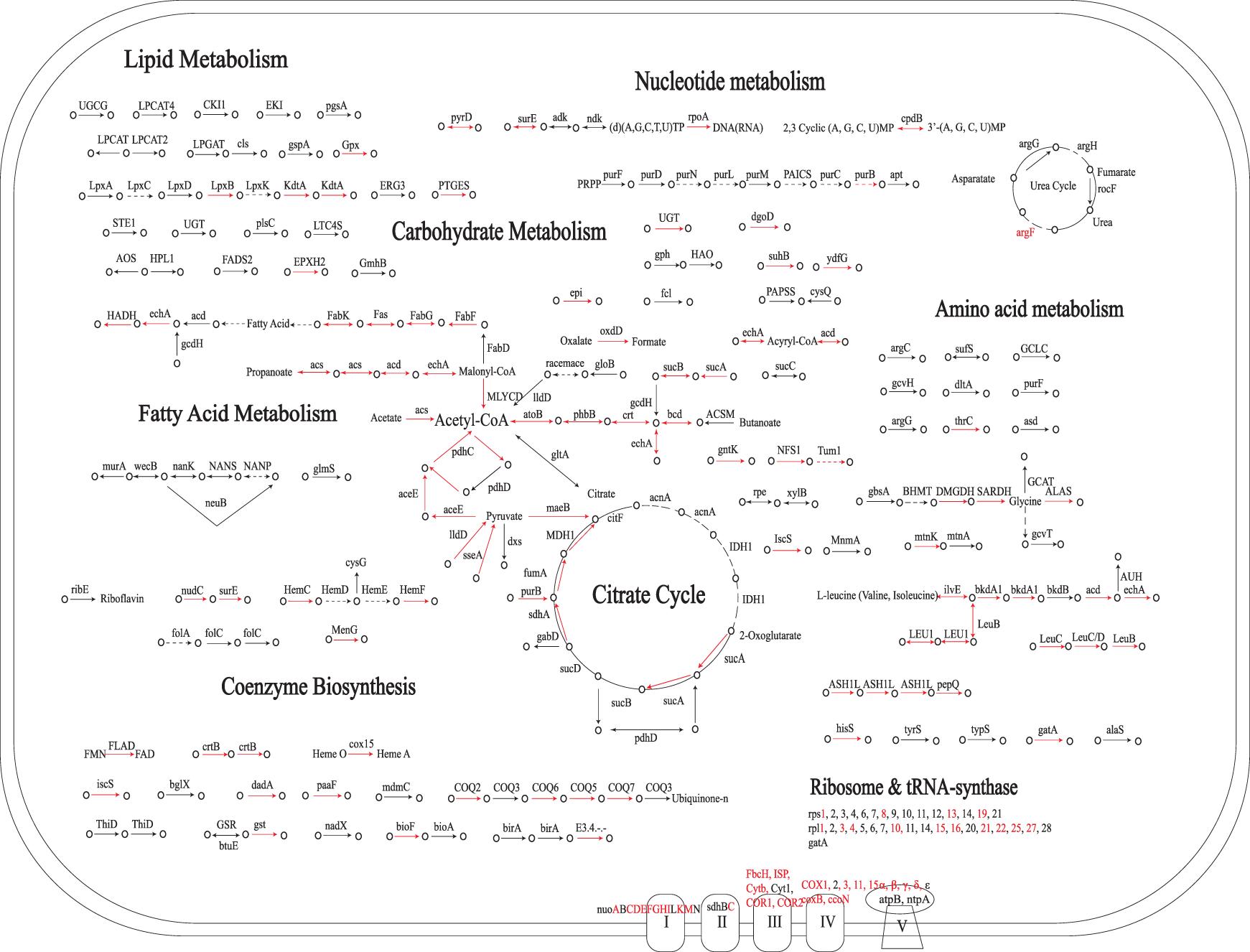 метаболизм митохондрий