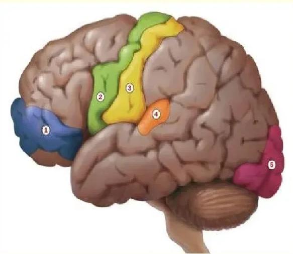 Участки коры головного мозга человека ответственные за восприятие негативного аффективного и тонического состояния боли.